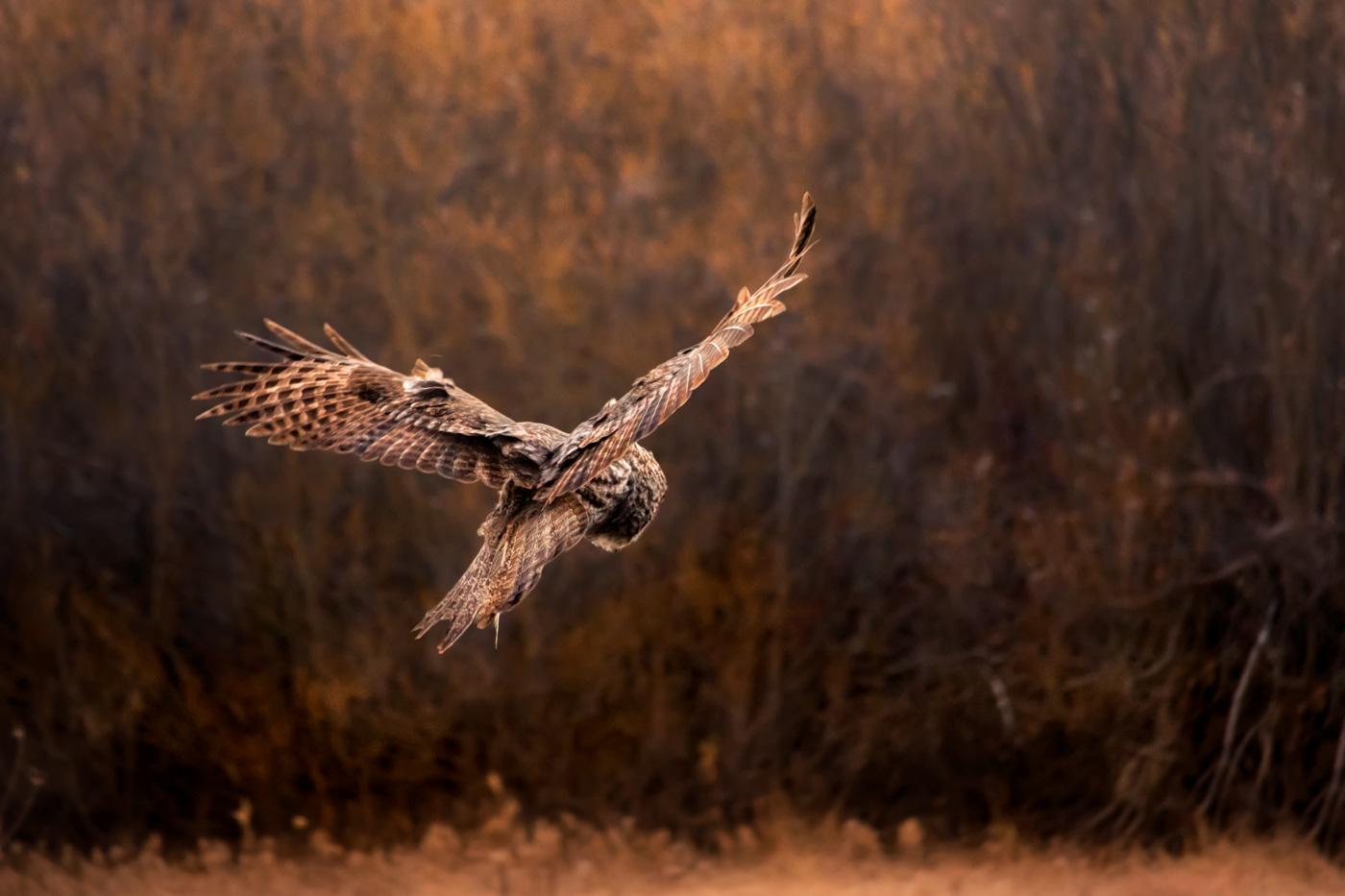 Great Gray Owl Morning Hunt in Yosemite