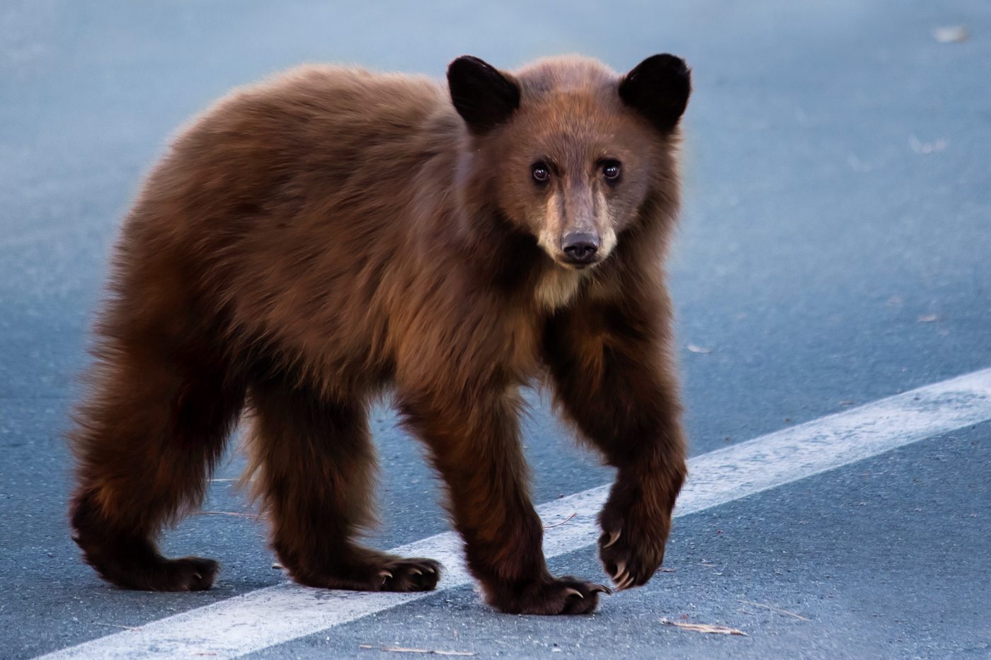 California-Black-Bear-Cub-Eastern-Sierra.jpg