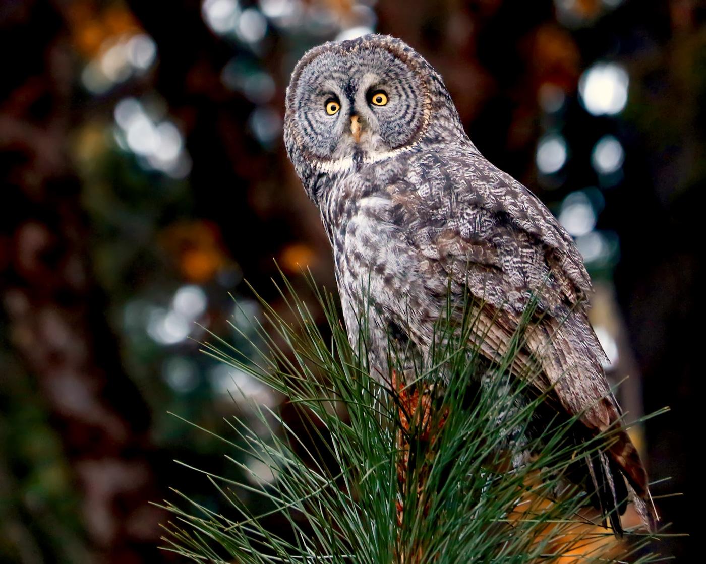 Beautiful Great Gray Owl in Yosemite