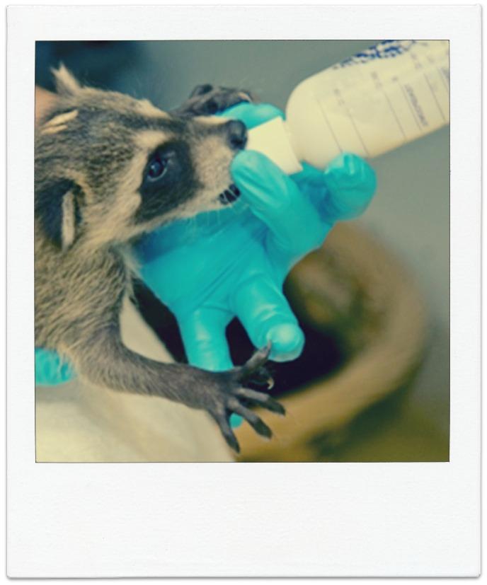 raccoonrehab.jpg