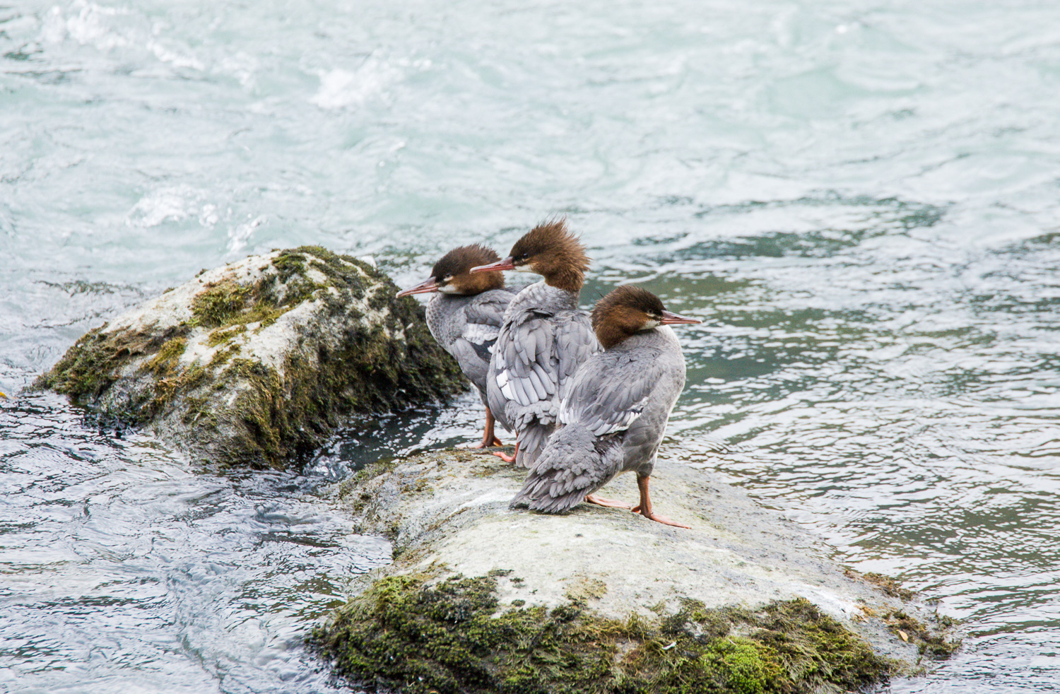 Trio of Female Mergansers (Haines, Alaska)