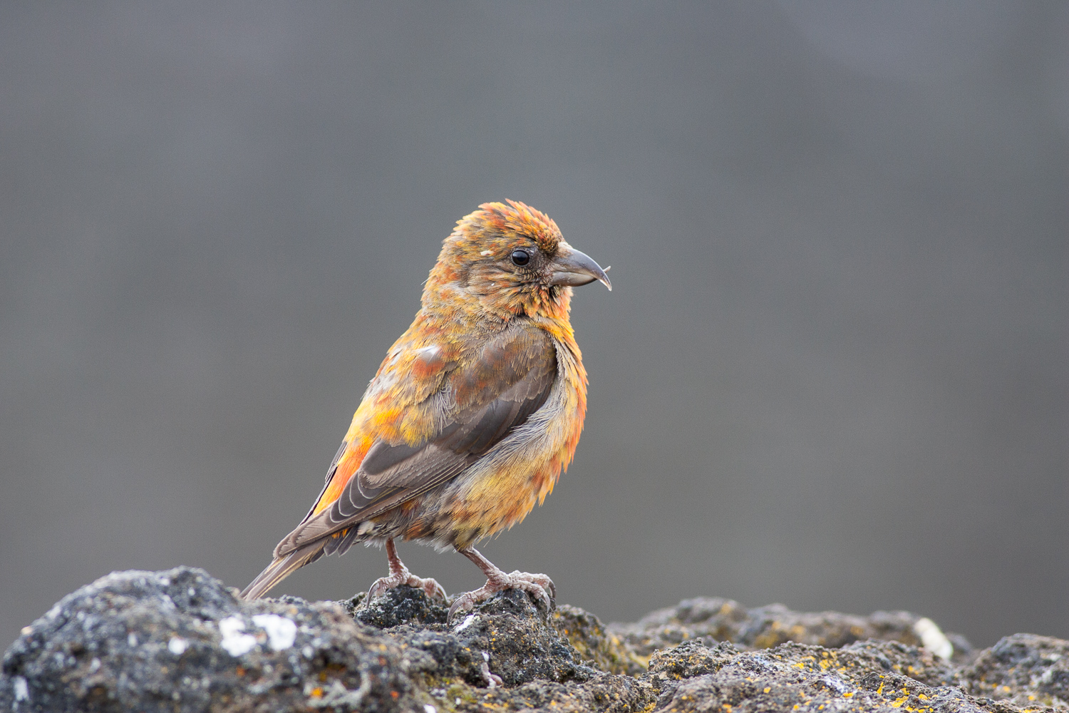 Red Crossbill (Old McKenzie Pass, Oregon)