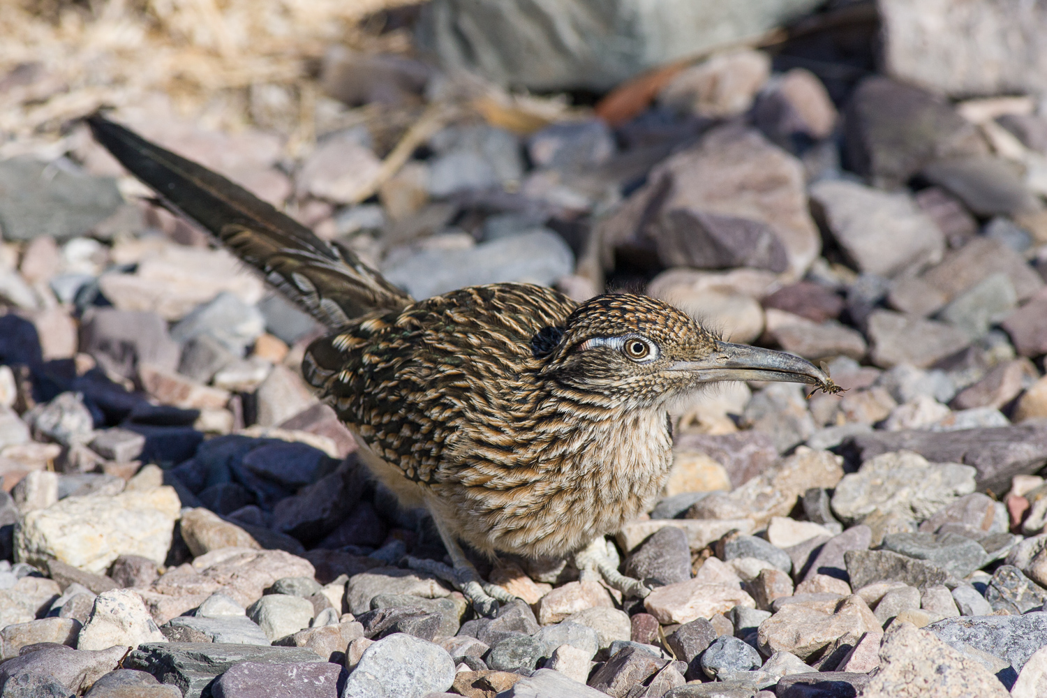 Road Runner (Death Valley, California)