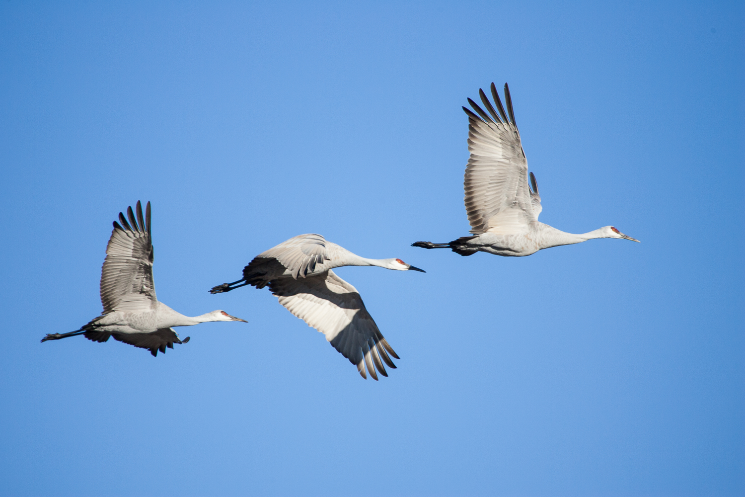 Sandhill Cranes in Flight (Bosque NWR, New Mexico)