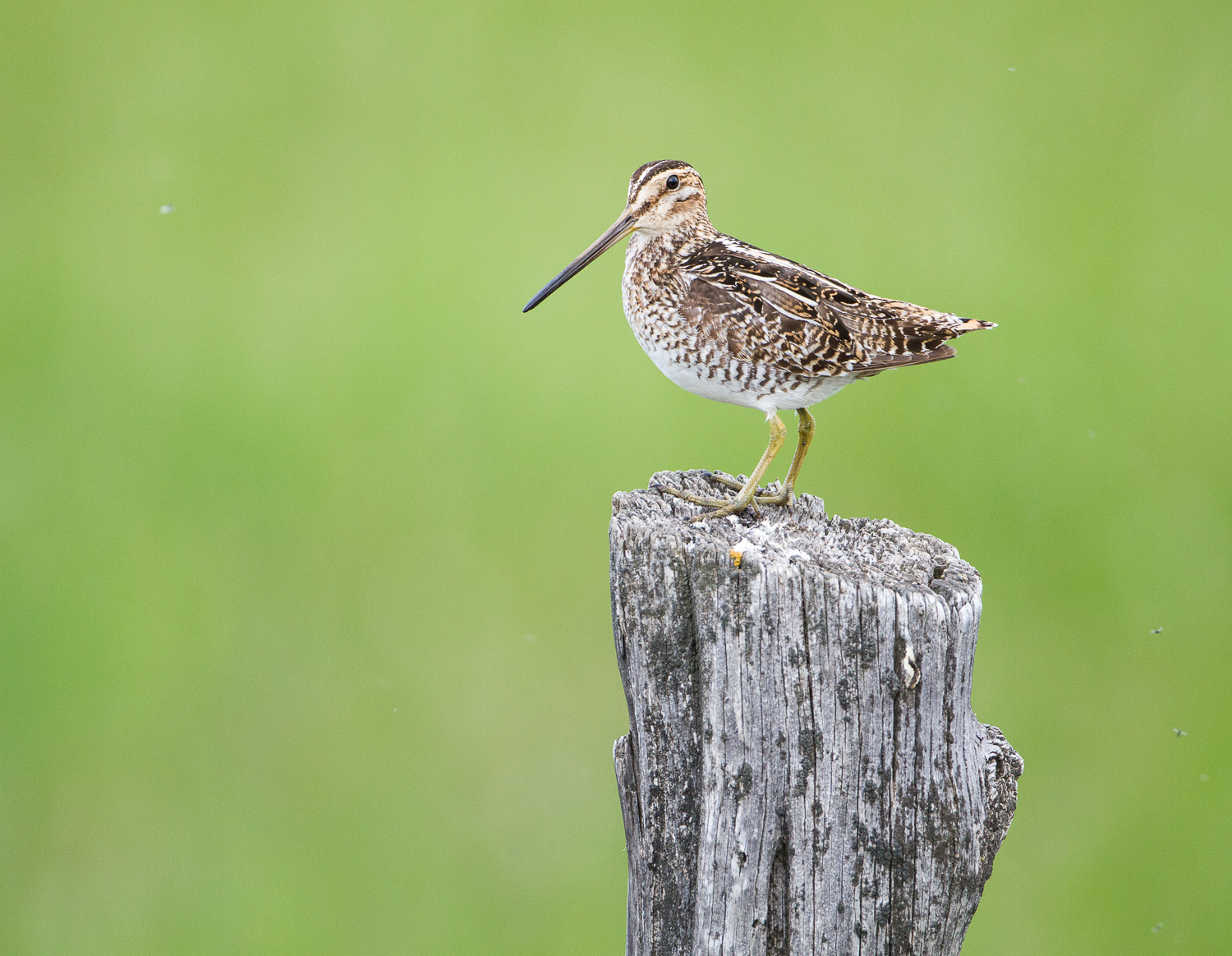 Wilson's Snipe (Diamond, Oregon)