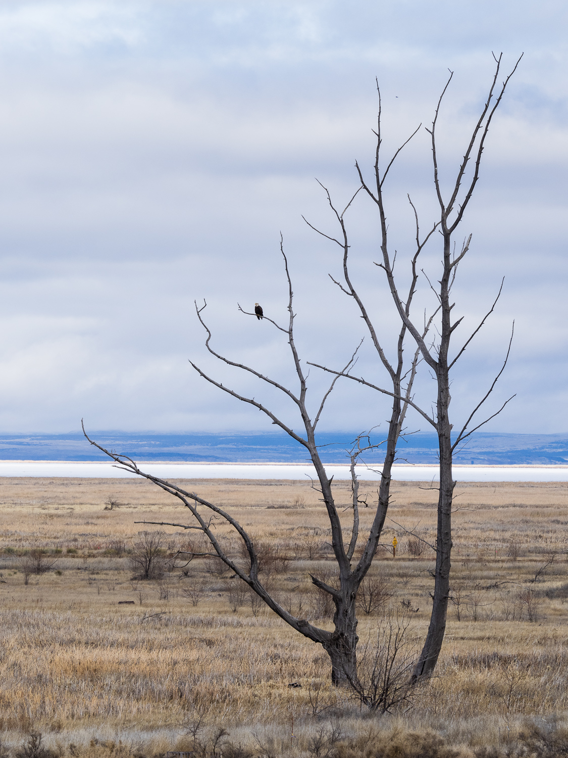 View towards Malheur Lake with bald eagle in tree.