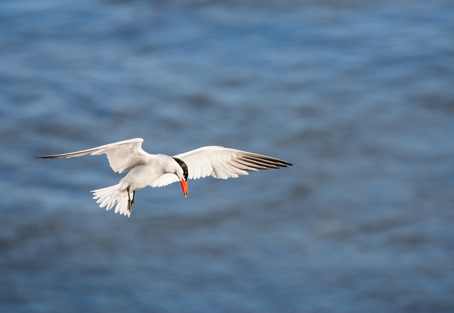 Caspian Tern (Astoria, Oregon)
