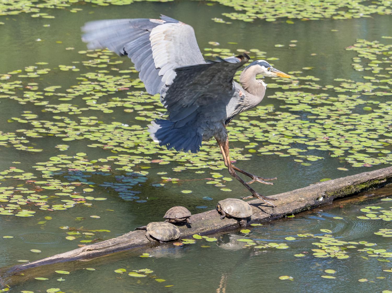 Heron Landing (1 of 3)