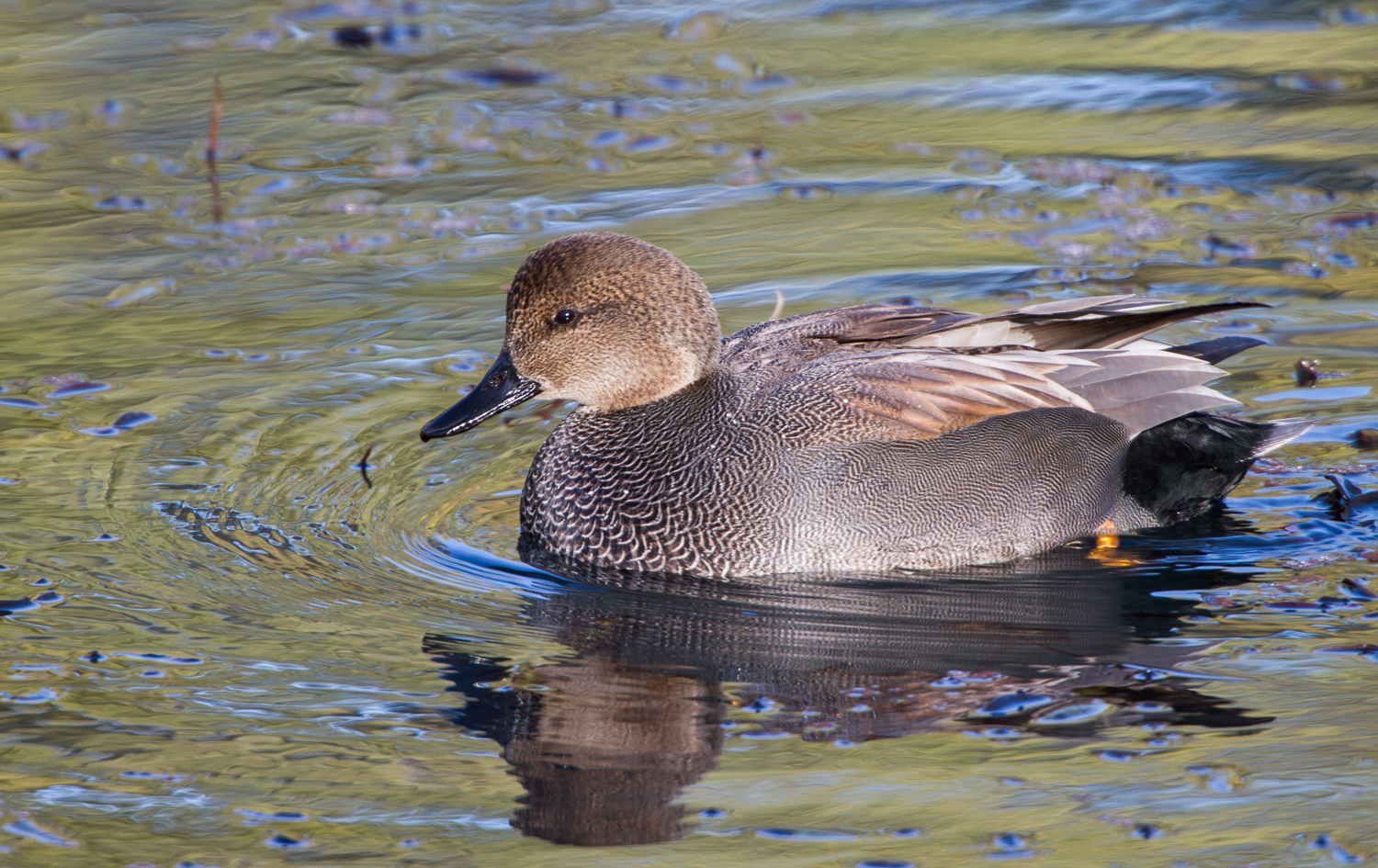 Male Gadwall (Delta Ponds, Eugene, Oregon)