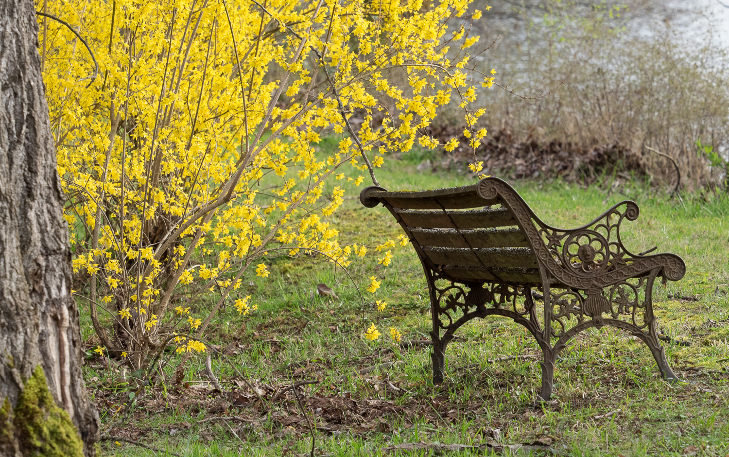 Bench & Yellow Blossoms