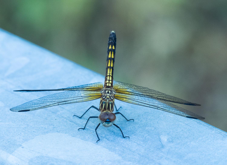 Blue Dasher Dragonfly, female