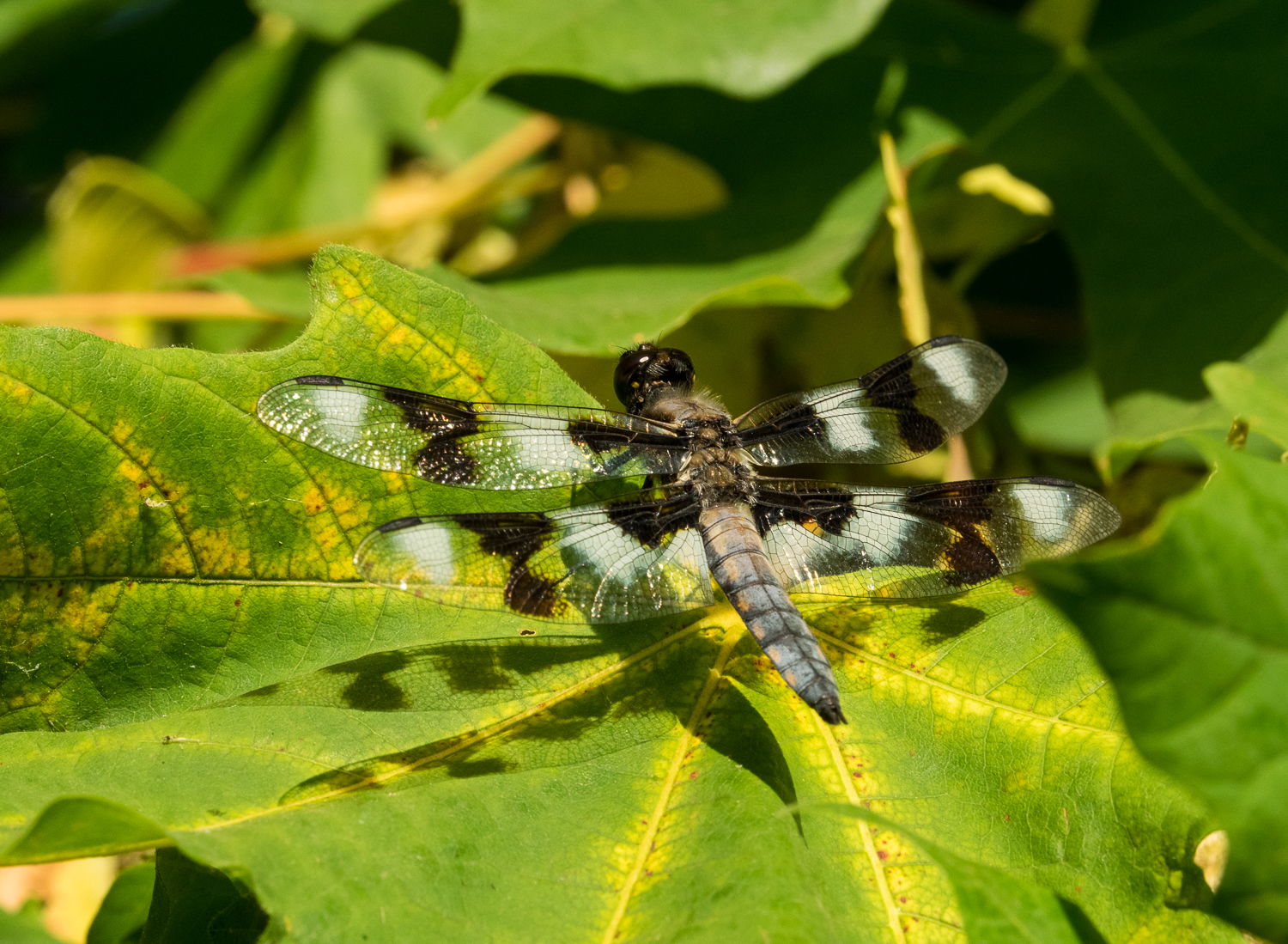 Eight-Spotted Skimmer, male