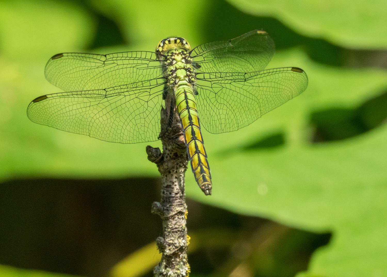 Western Pondhawk Dragonfly, female