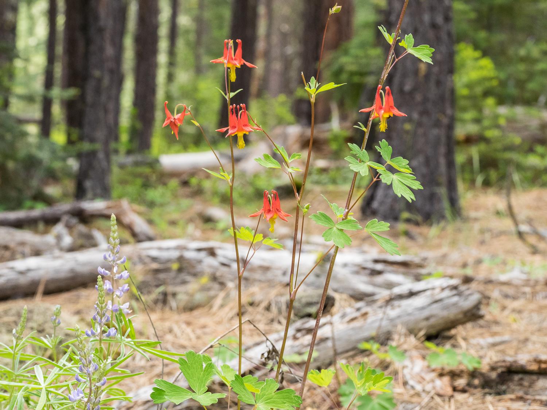 Wildflowers along Metolius Trail 4018