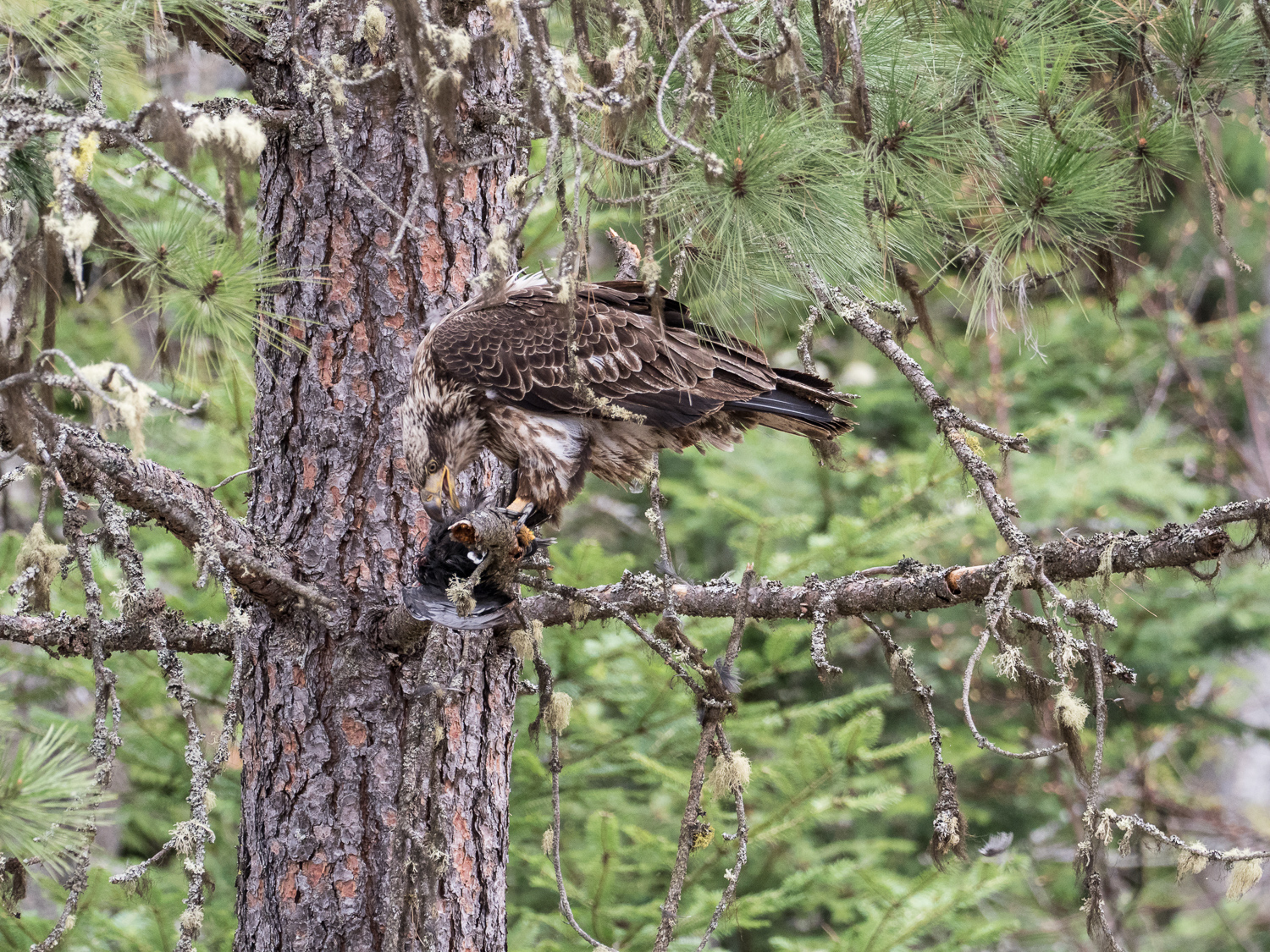 Juvenile Bald Eagle at Kootenai NWR