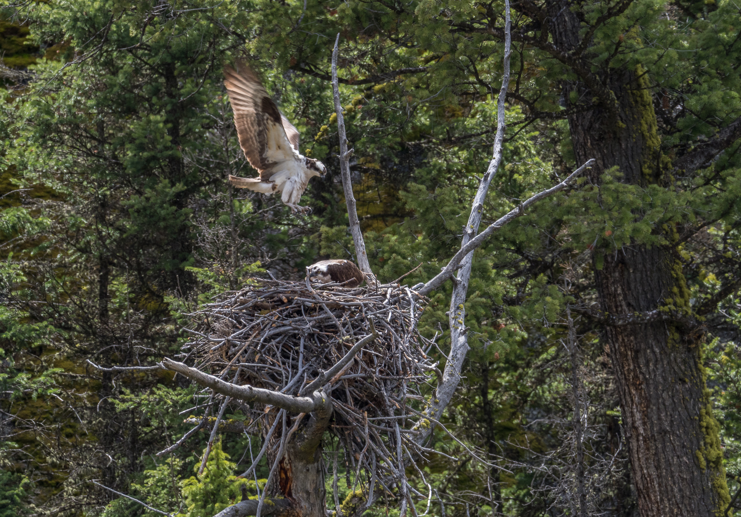 Ospreys in Lamar Canyon