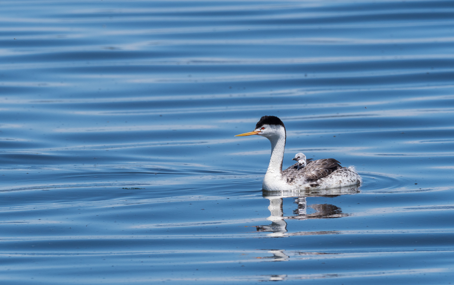 Clark's Grebe with Little Ones