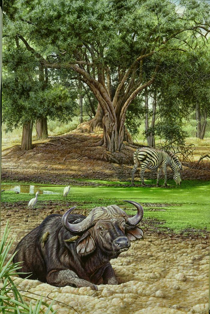 Ruckomechi -African buffalo