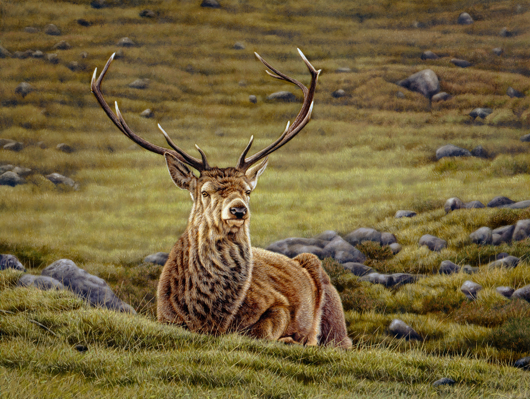 Stag-Scottish Highlands-Glen Cannich