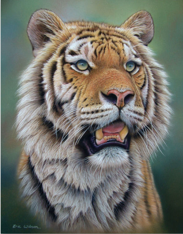 PORTRAIT OF MALE SIBERIAN TIGER Siberian tiger Pastel, 20 x 14 inches