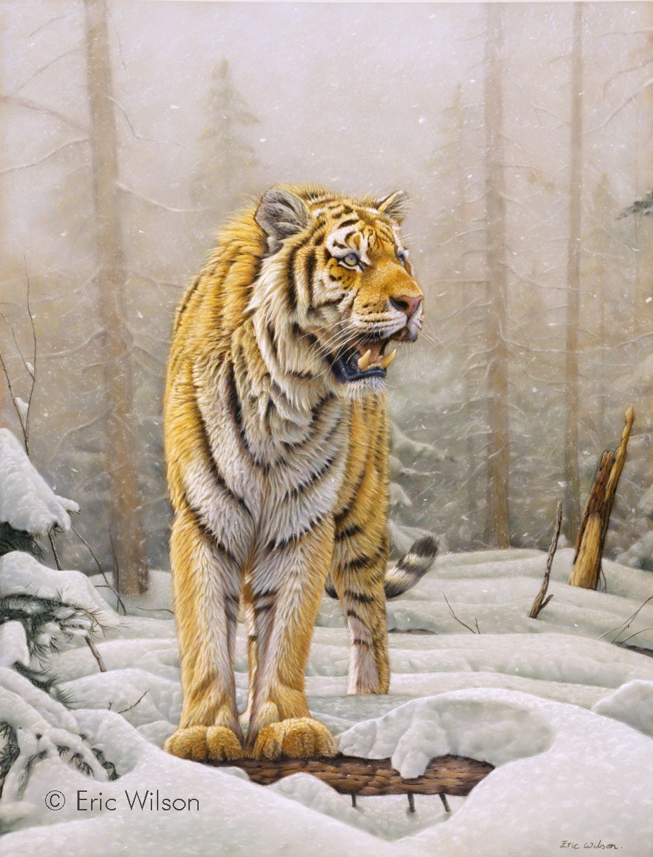 Siberian Tiger in Forest