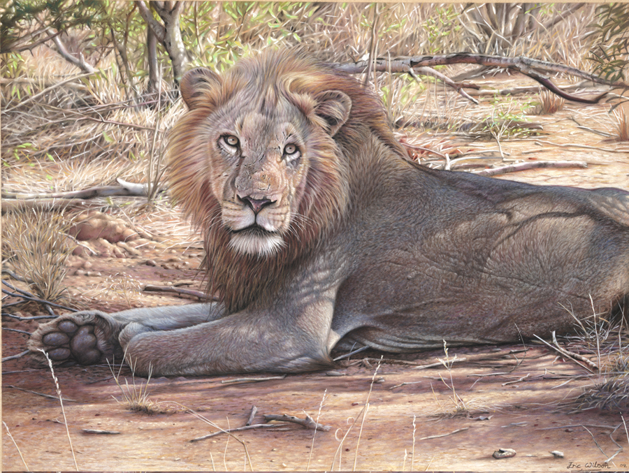 Ngala-South African Lion.