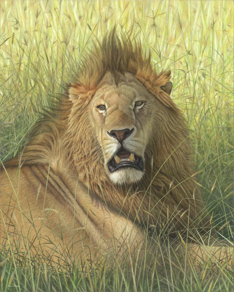 'Romeo' Masai Mara Lion. Oil on Belgian Linen 80 x 100cm. Original Available.