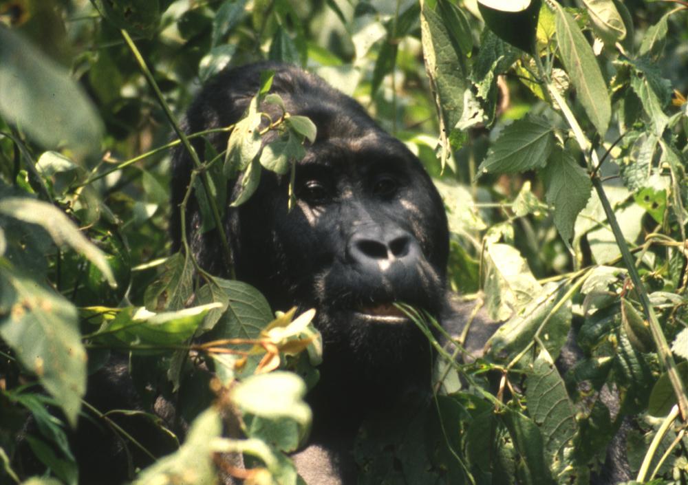 Eastern Lowland Gorilla. Kahuzi Biega, Zaire, Africa.