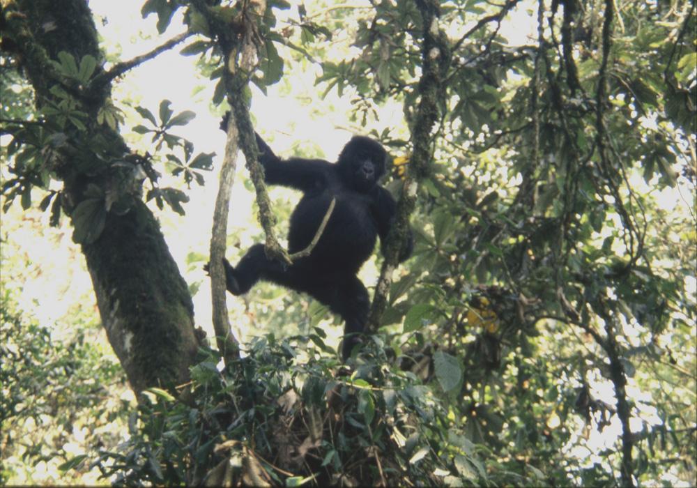 Eastern Lowland Gorilla and wildlife artist Eric Wilson