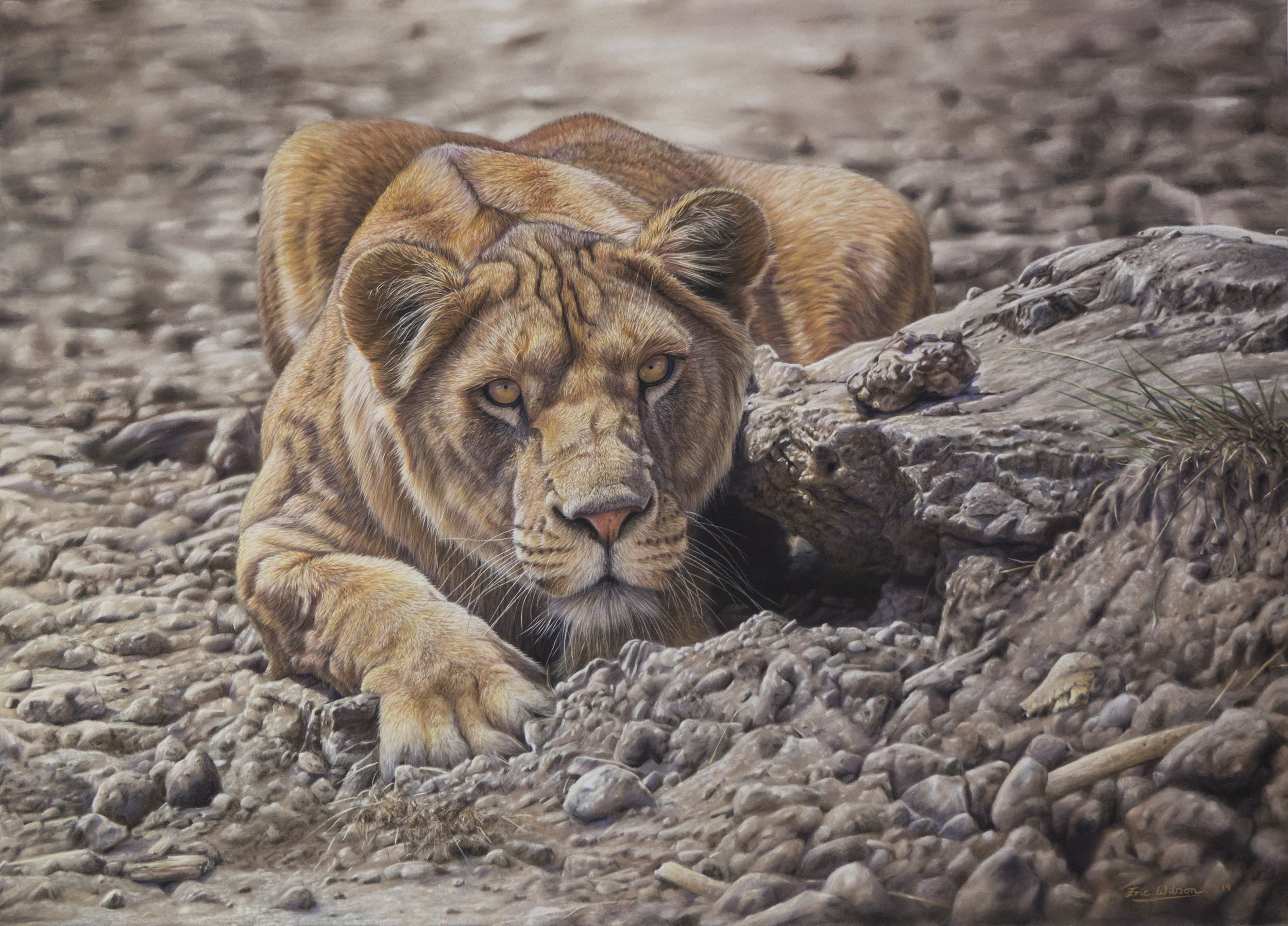 'Still Life' 'Still Life' Pastel on Pastelmat. 19 x 27 inches. A lioness crouches motionless as she waits in ambush on the African plains. The struggle for survival is not an easy one. She knows to remain perfectly still behind the only available cover in this barren landscape. Not just tooth and claw but intelligence and teamwork will be required to ensure success.  In the foreground I have scattered bones, symbolic of the countless struggles that have taken place over millions of years.  If you look closely you may notice part of a jawbone with two molar teeth. A human perhaps, suggesting that we too are locked into the struggle and just like the lioness, our success on this planet is far from guaranteed.