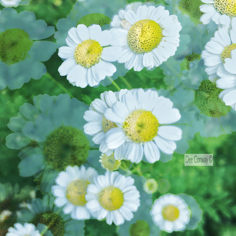 12.Daisy copy.jpg