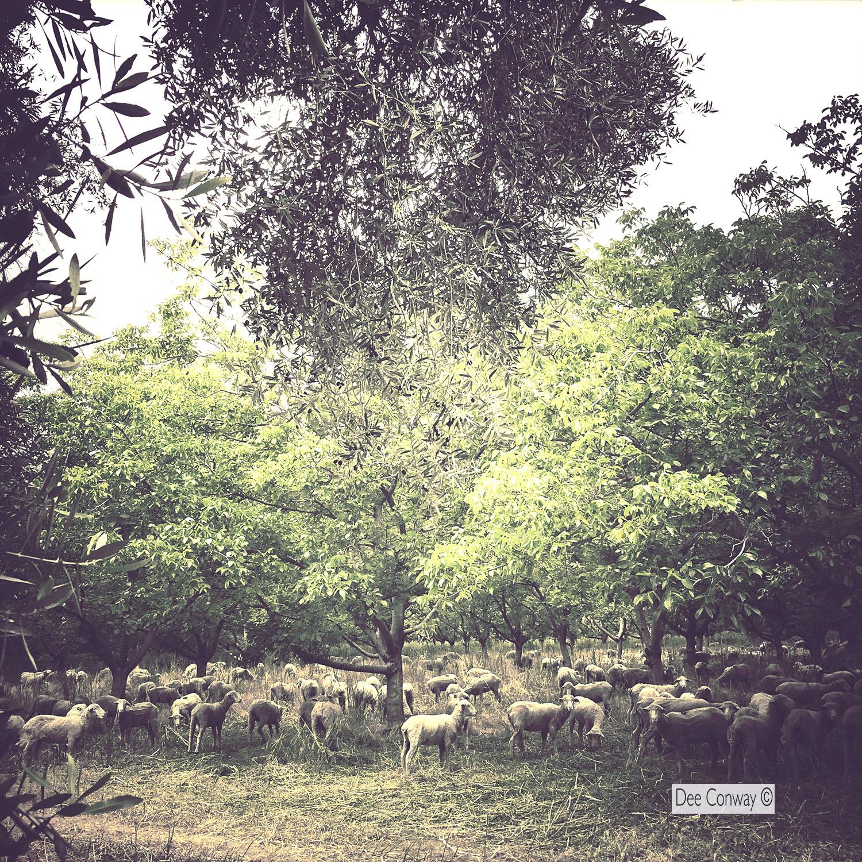 SheepInOrchard copy.jpg