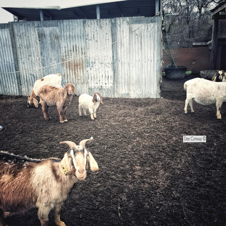 Goats copy.jpg