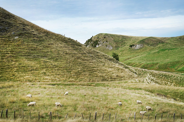 New Zealand - Token photo of sheep 1.jpg