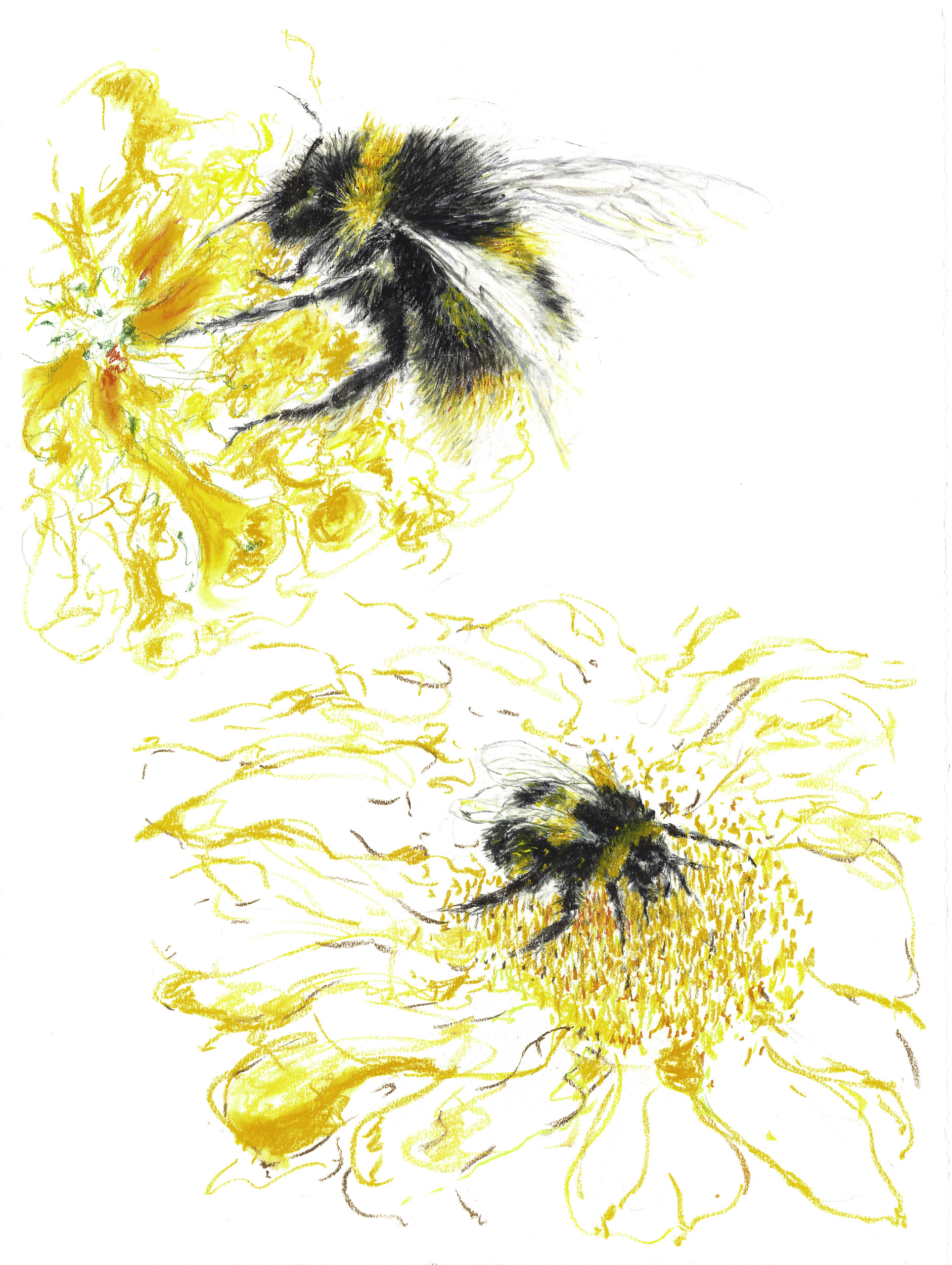 Bumble Bee pollinating for Website-0002.jpg