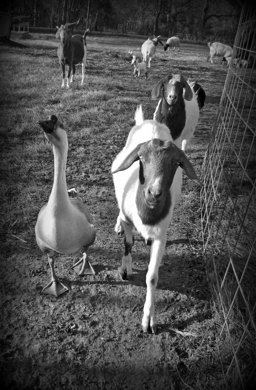 GoatGoose1.jpg