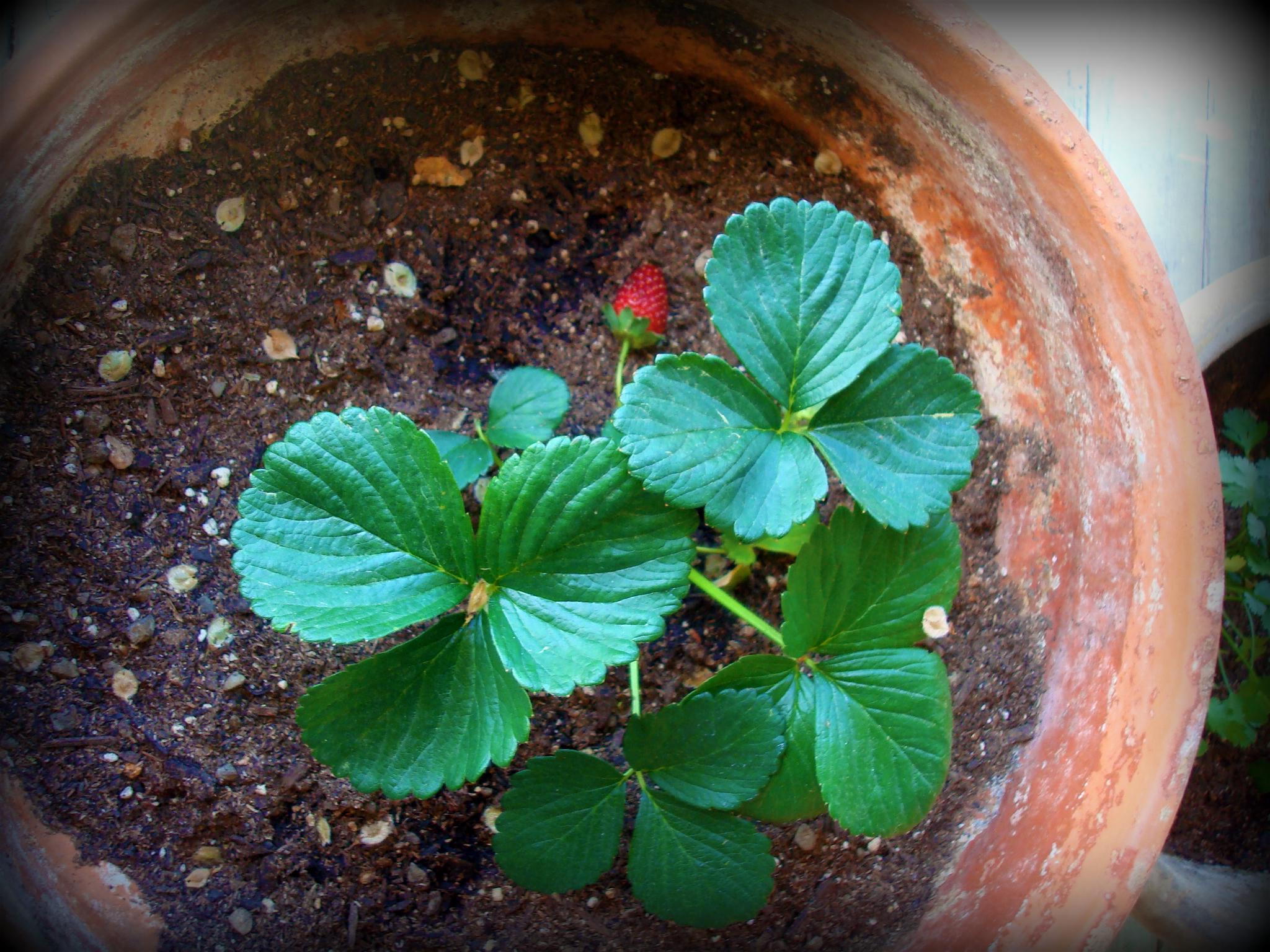 FirstStrawberry1.jpg