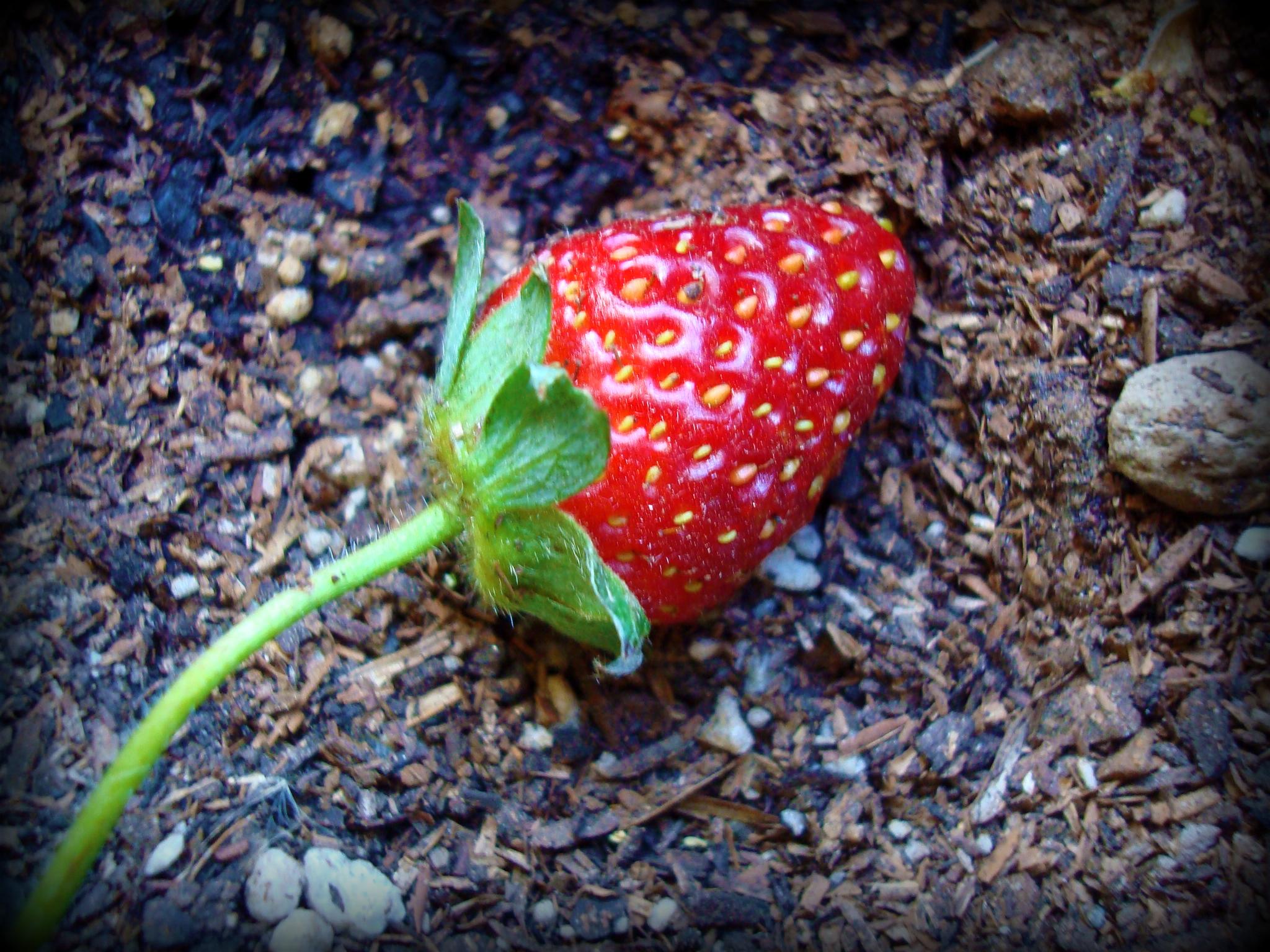 FirstStrawberry2.jpg