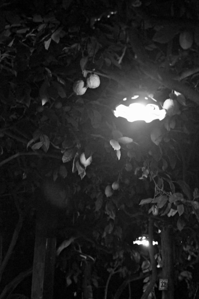 LemonTree7.jpg