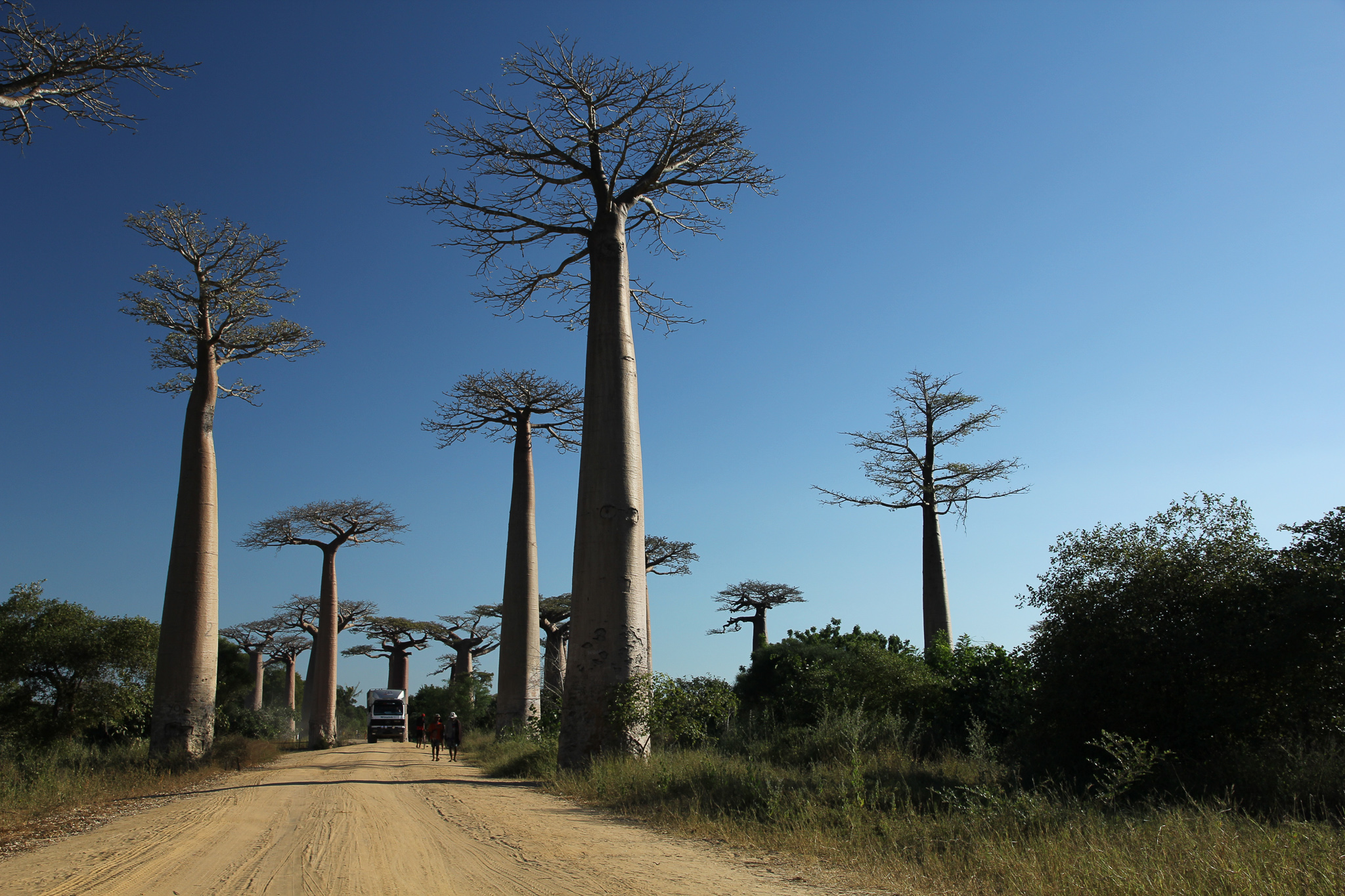 These baobab trees are insanely tall and strange