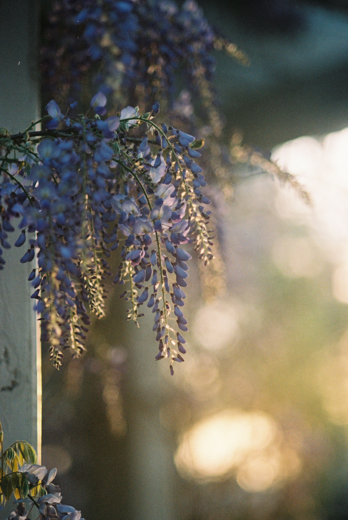 Wisteria on Film | Azzari Jarrett