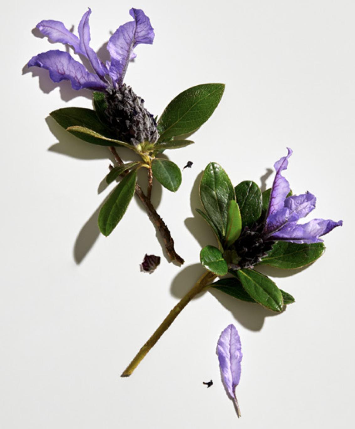 Babchi flower, source of bakuchiol