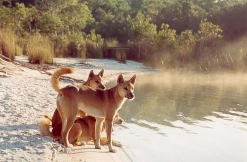 Dingos Fraser Island.jpg