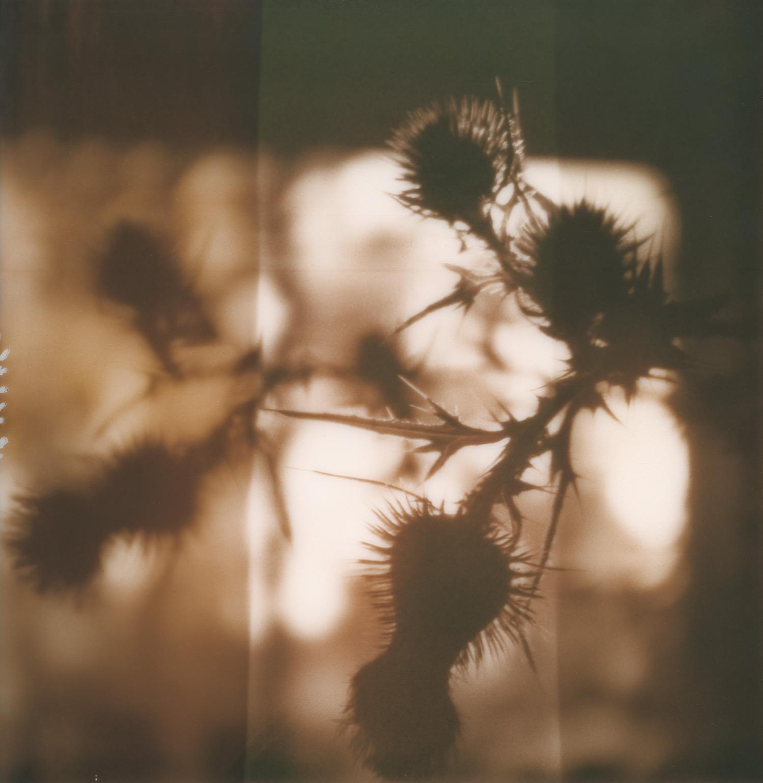 pola_thistle_silhouette_1500px.jpg
