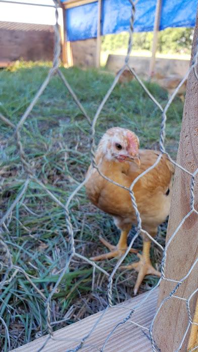 Chicken_Pasture_Brothers.jpg