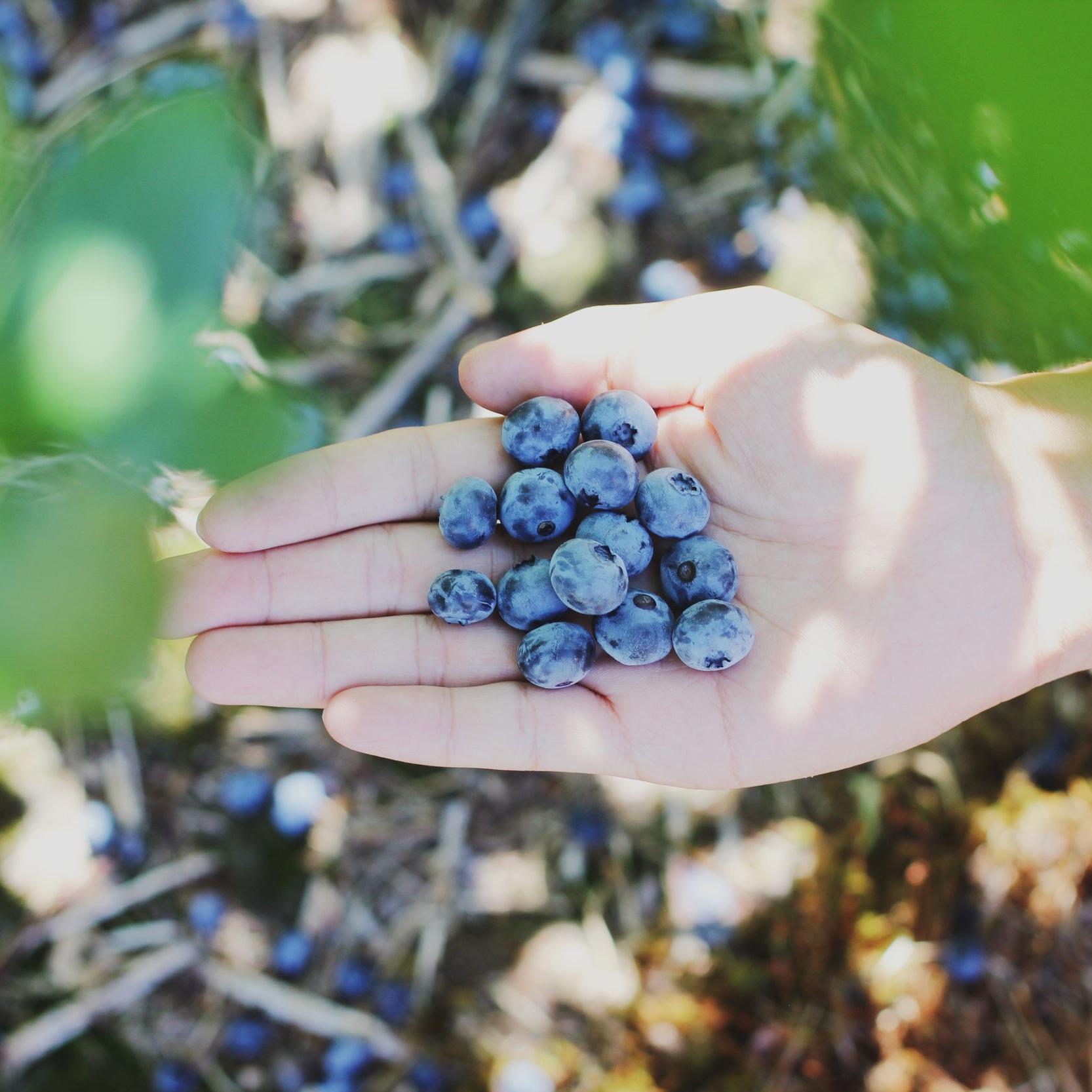 florida-blueberries-in-hand.jpg