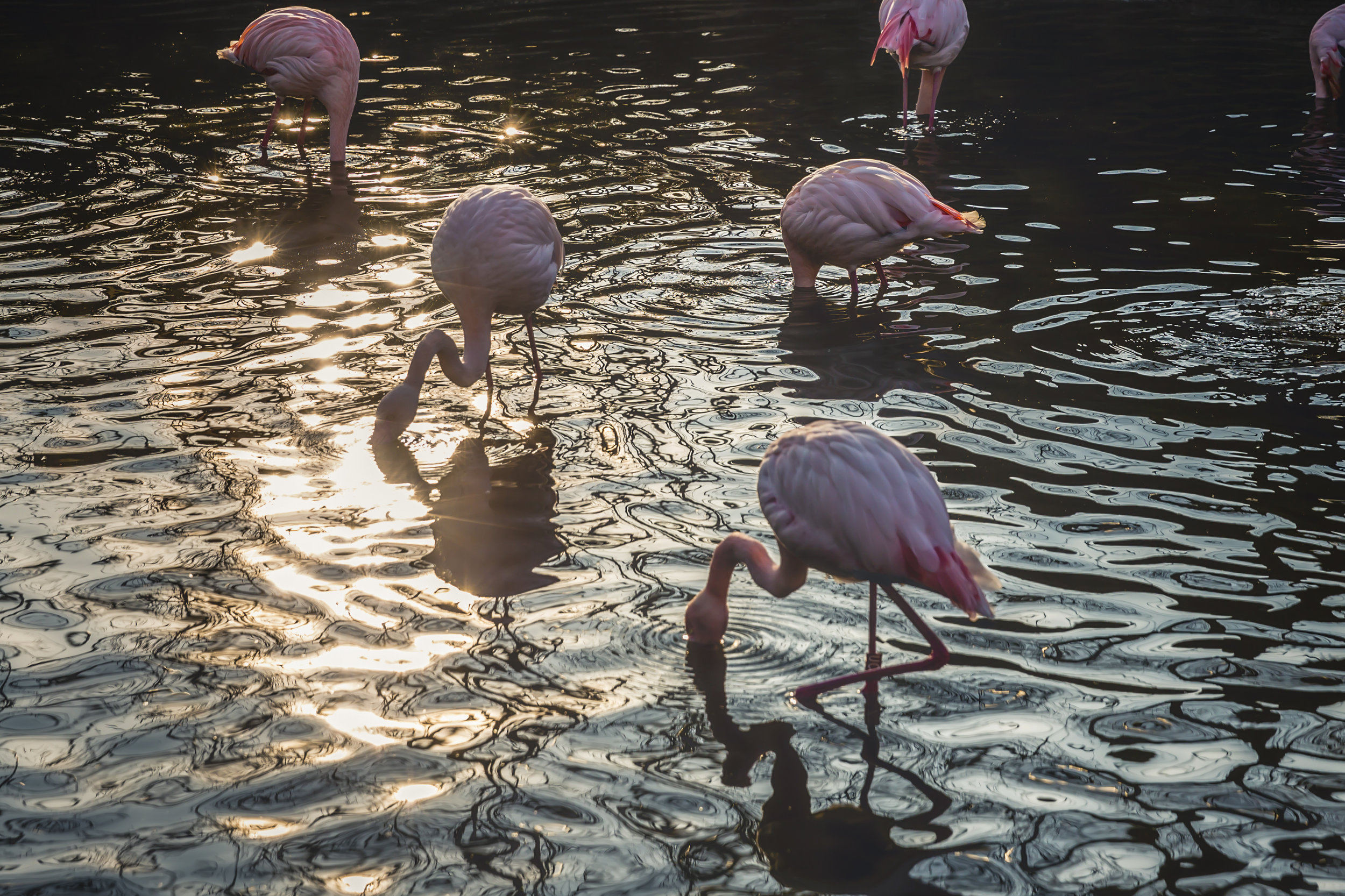 flamingos-drinking-water-together