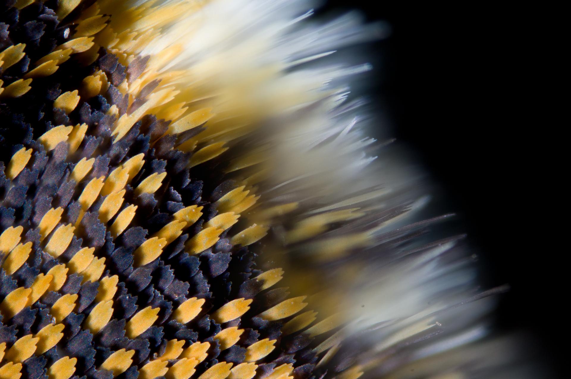 Detail křídla běláska - motýla s pigmentovým zbarvením.