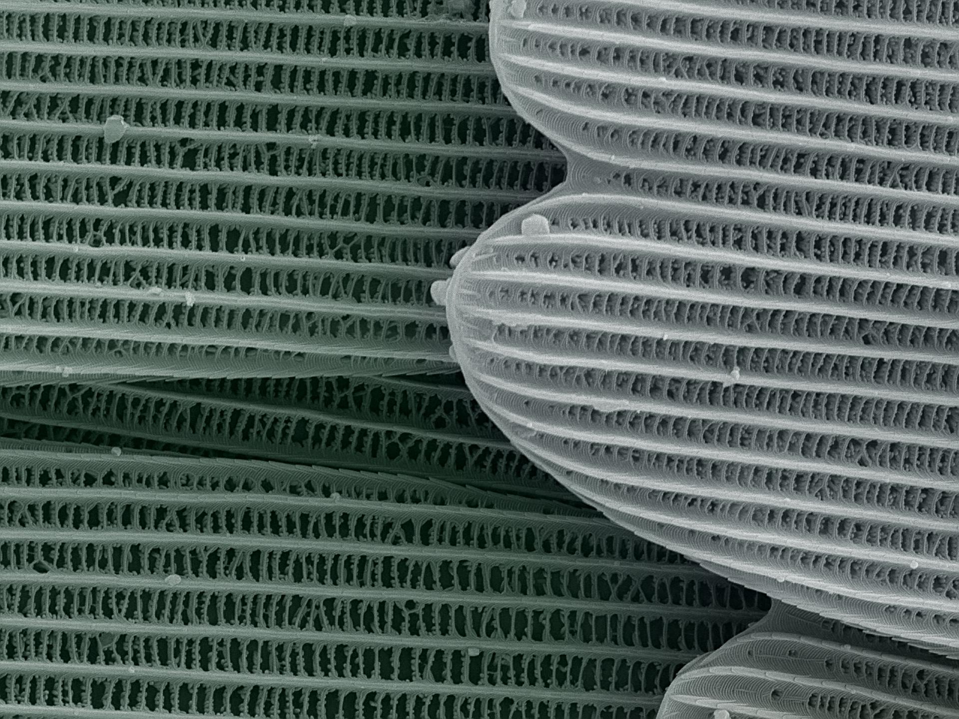 2 - Catopsilia - 4 a x.jpg