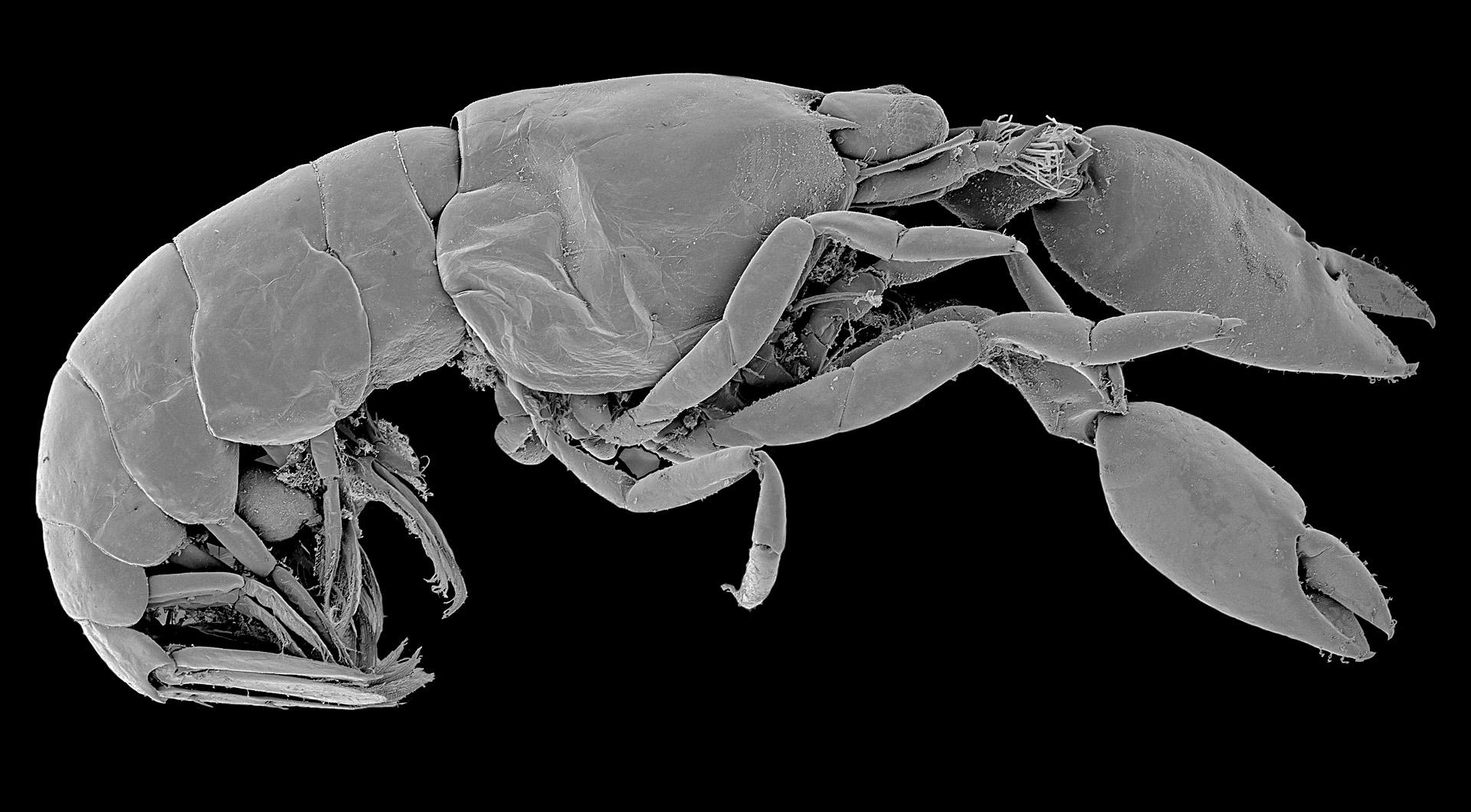 Ani ne 1 cm velké krevety rodu Typton mají zajímavou stavbu klepet připomínající nůžky. Při detailním pohledu tak vzbuzují podezření, že by jimi mohli stříhat třeba křemičité jehlice mořských hub, v nichž žijí. Jak je to s nimi tedy doopravdy?